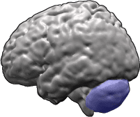 posterior-lobe