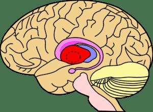 basal-ganglia
