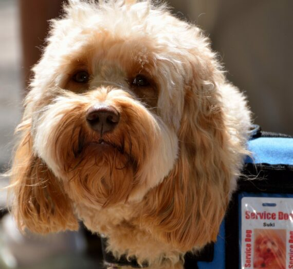 Best Service Dog Breeds | The Top 4 Breeds for Disabilities